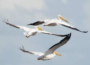 Three white pelicans, Merritt Island, Florida/John Young photo