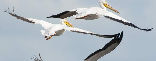 Graceful white pelicans over Merritt Island. Photo courtesy John Young