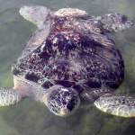 Bubblebutt, first and longest permanent resident of the Turtle Hospital.