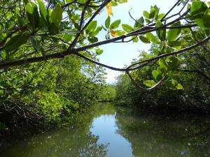 Kayak trail through mangroves at St. Lucie Inlet Preserve State
