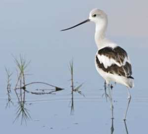 American Avocet at Merritt Island