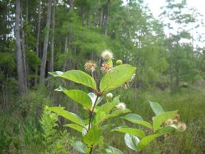 Wildflowers along boardwalk at Corkscrew Swamp, Naples, Florida
