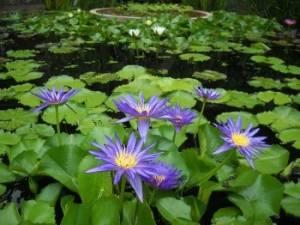 Fairchild Tropical Garden Water Lillies