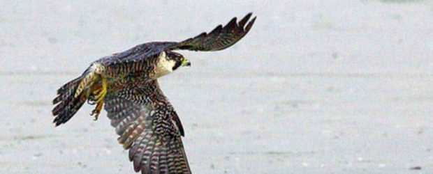 The peregrine falcon is one of the species that migrates south via the Florida Keys in the fall. In fact, the Keys see more peregrine falcons than anywhere else in the continent, according to Florida Keys Hawkwatch.