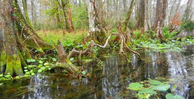 Silver River State Park cypress roots