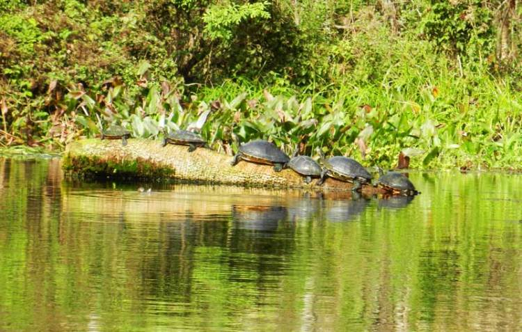 Six turtles at Silver Springs River