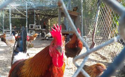 Rooster-at-Key-West-Wildlif
