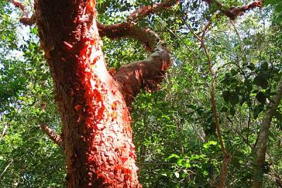 Gumbo limbo trees on Sandfly Island inside 10,000 Islands National Wildlife Refuge.