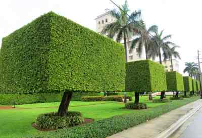 ficus olympics in palm beach