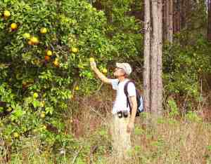Hiking in Lake Louisa State Park: One trail goes through an old Orange Grove.
