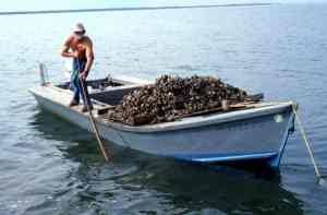 oyster harvest in apalachicola