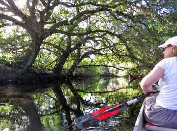 Live oaks arch over Telegraph Creek