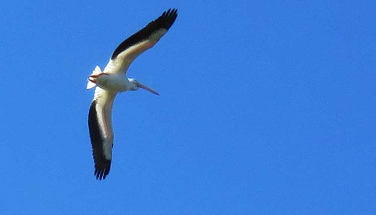 White pelican flyover at Peaceful Waters Sanctuary in Wellington