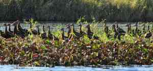 A flock of whistling ducks near the bridge at Myakka River State Park.