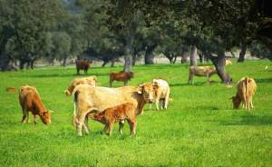 cattle grazing at Okeechobee Farms