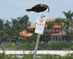 Osprey 'reads' the sign that helps cordon off the nesting area for birds along Tigertail Beach. (Photo: David Blasco)