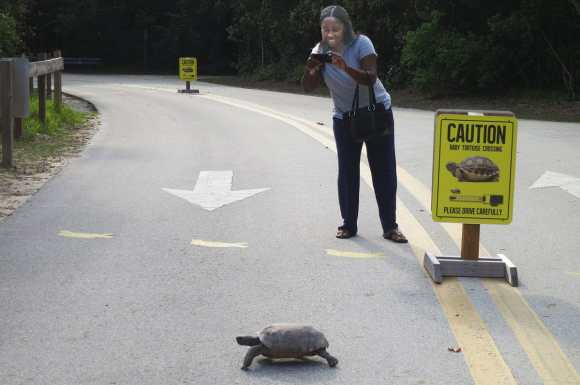 Gopher tortoise crossing road at Hugh Taylor Birch State Park. A threatened species, it is the only tortoise in the eastern United States.