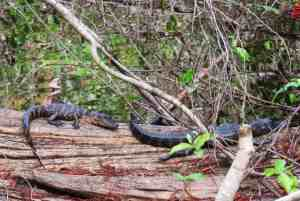 Two baby alligators sunning right off the pathway at Big Cypress Bend Boardwalk in Fakahatchee Strand Preserve State Park on a January afternoon. (Photo: Bonnie Gross)