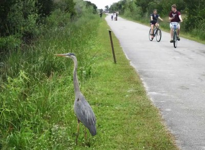 Birds and alligators at Shark Valley in Everglades National Park often seem oblivious to visitors, who walk and bike past. (Photo: David Blasco)