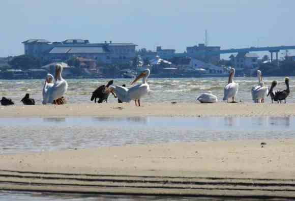 Migratory white pelicans and local brown pelicans on sandbar at San Carlos Bay - Bunche Beach Preserve in Fort Myers.