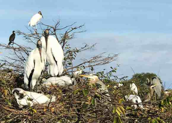 Wood storks, anhingas and herons all nesting together in Wakodahatchee Wetlands in Delray Beach. (Bonnie Gross)
