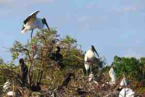 Wood storks nesting in Wakodahatchee Wetlands in Delray Beach