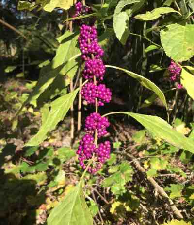Beautyberry along a trail near Dunnellon. (Photo: Bonnie Gross)