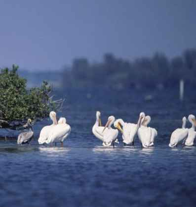 Brown_and_White_Pelicans_Rest_On_Pelican_Island_NWR