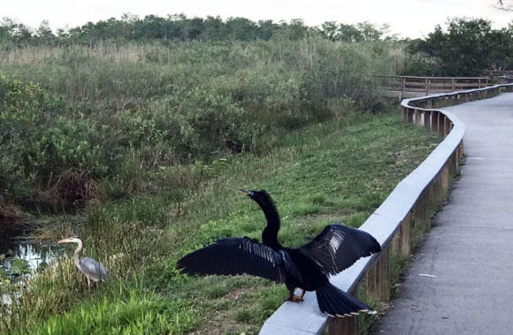 An anhinga and great blue heron along the Anhinga Trail at Royal Palm in Everglades National Park. (Photo: Bonnie Gross)