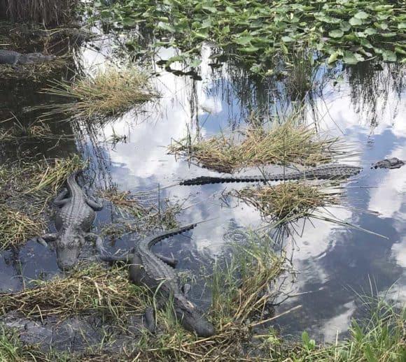 Alligators along Anninga Trail at Everglades National Park. (Photo: Bonnie Gross)