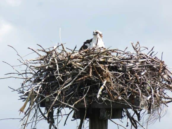 Osprey nest visible from lookout tower at Tigertail Beach, Marco Island. (Photo: David Blasco)