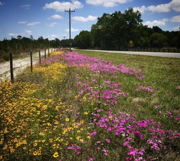 Wildflowers bloom along the highway in Columbia County, Florida, near the Santa Fe River. (Photo: Bonnie Gross)
