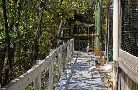 At the Florida Keys Wild Bird Rehabilitation Center in Tavernier, five birds walk on boardwalk past other caged birds.