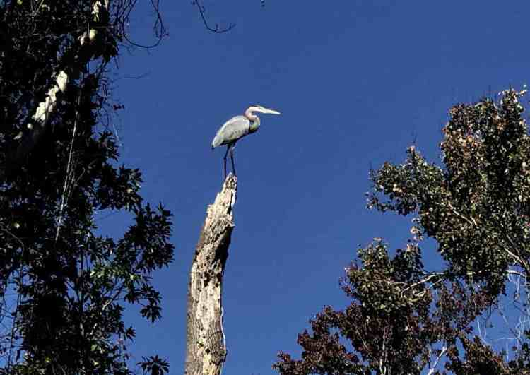 A great blue heron at Alexander Springs in Ocala National Forest was just one of the birds we loved seeing. There also was a bald eagle. (Photo: Bonnie Gross)
