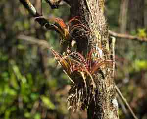 The Fakahatchee is the spot enthusiasts go to see wild orchids, bromeliads and air plants. (Photo: Bonnie Gross)