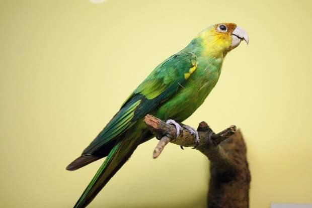 Carolina parakeet (Field Museum) Photo by Anne Petersen
