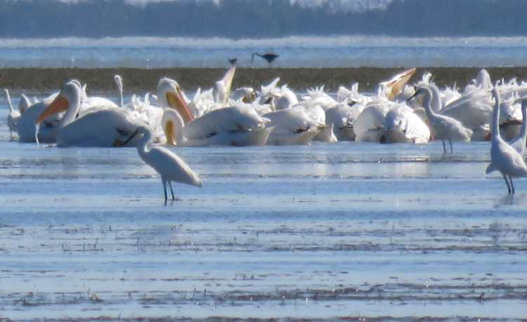 White pelicans on the mud flats of Snake Bight near Flamingo in Everglades National Park, (Photo: Bonnie Gross)
