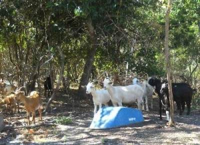 Mound Key Archaeological State Park goats