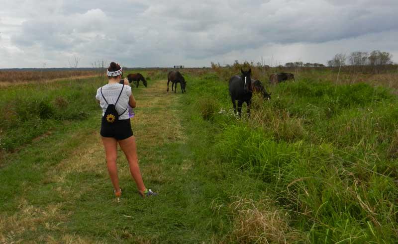 wild horses along la chua trail paynes prairie preserve state park near gainesville