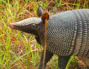 armadillo-arbuckle