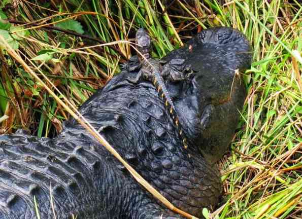 At Shark Valley in early January, this pair were so close, you had to walk to the other side of the paved path to avoid crowding them. (Never crowd a Mama Gator!) There were six oher young gators in the grass around Big Mama.