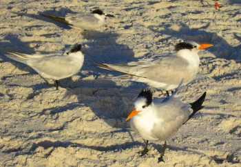 Royal terns at Barefoot Beach, Bonita Springs