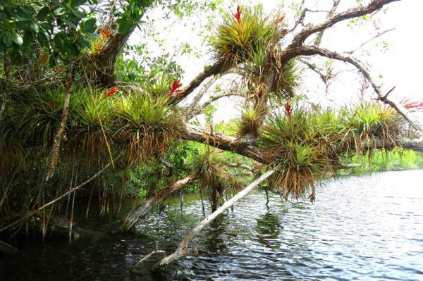 Spring blooms along Halfway Creek, Everglades National Park, off the Tamiami Trail