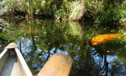 Imperial River Bonita Springs manatee