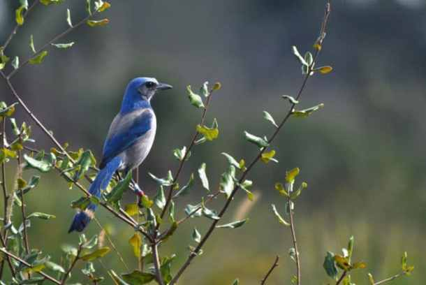 Florida Scrub Jay at Oscar Scherer State Park (Photo by Jennifer Huber)