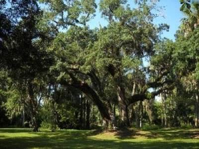 Historic like oak trees at Riverbend Park, Jupiter