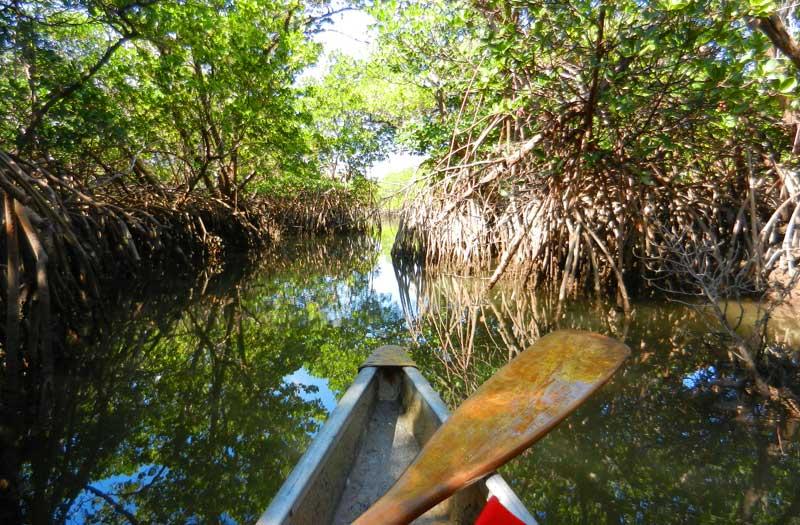 West Lake Mangrove Tunnel Florida Rambler