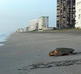 Sea Turtles Hutchinson Island Florida