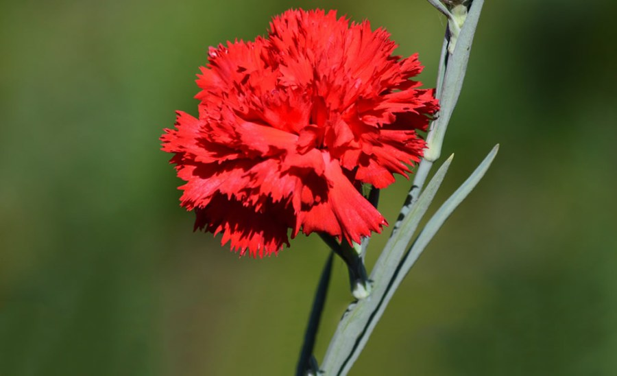 The Meaning of Flowers     Carnation   Flower Delivery in Nairobi     The Meaning of Flowers     Carnation