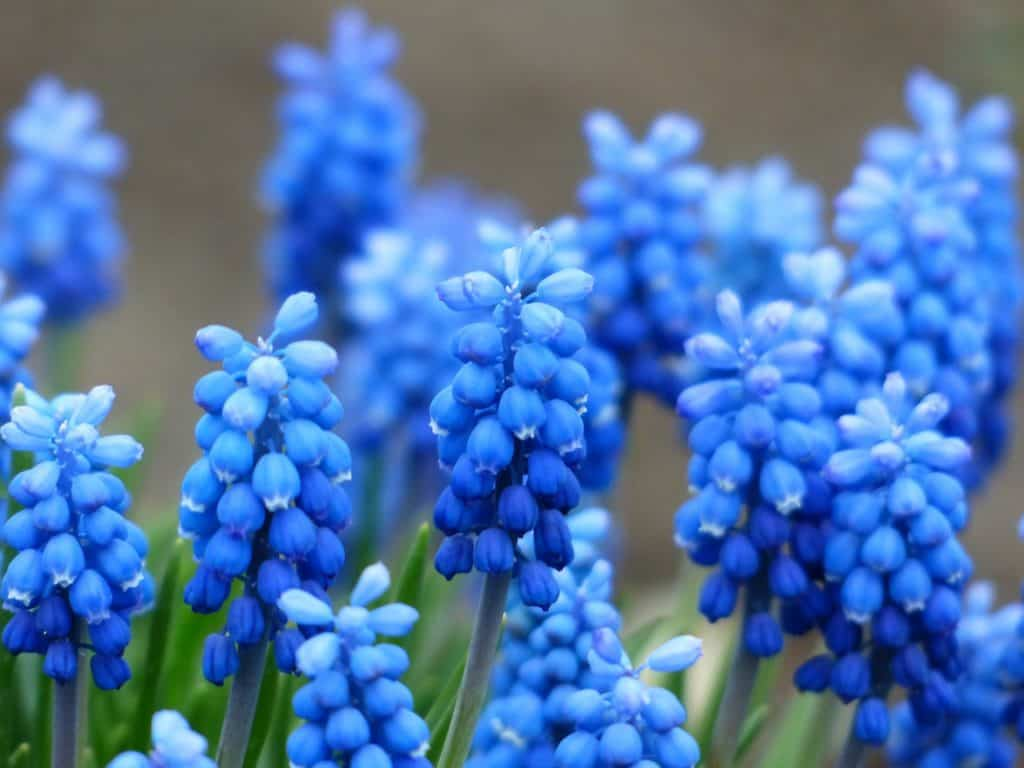 40  Types of Blue Flowers with Pictures   FlowerGlossary com These bulbs bloom in spring  producing clusters of tiny blue or purple  flowers that resemble grapes  These are the perfect flowers for attracting  birds to